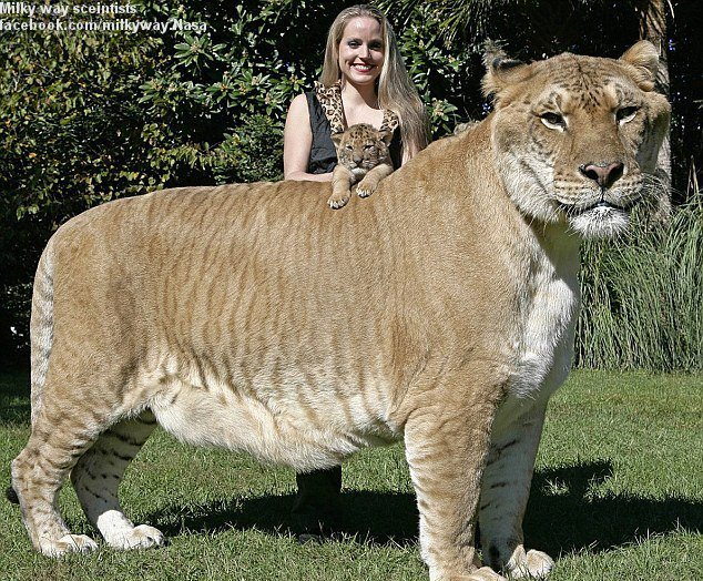 the - Biggest Cat In The World Guinness 2012