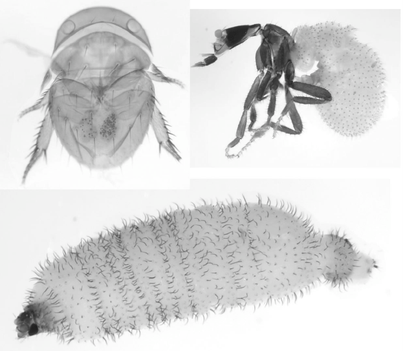 Fig 1 from the paper: Variety of body forms in adult female Phoridae. Clockwise from upper left: Thaumatoxena sp., a termitoxeniinae,<br /><br /><br /><br /><br /><br /><br /><br /><br /><br /><br /><br /><br /><br /> and Vestigipoda sp.