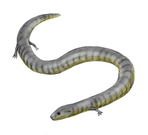 the evolution of snakes from lizards Evolution of limblessness evolution of limblessness early on in life, many people learn that lizards have four limbs whereas snakes have none this dichotomy not only is inaccurate but.