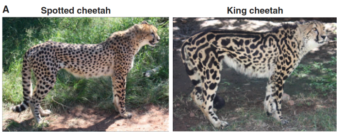 the evolution of cheetahs The speedy cheetah (acinonyx jubatus) is very distinct from other cats and has  many unique adaptations to enable it to chase prey at high.
