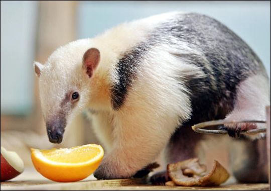Squeeee Quito The Baby Tamandua Why Evolution Is True