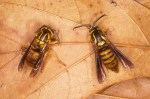 A yellowjacket model (left/Vespidae) and a clearwing moth mimic (right/Sesiidae) are part of a Batesian mimicry ring in Florida. Photo by Dr. James Cassler at Feline Press (http://www.felinepress.com/photo_gallery/03%20camo3.htm), used with permission.