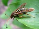 2 wasp-moth-mimic