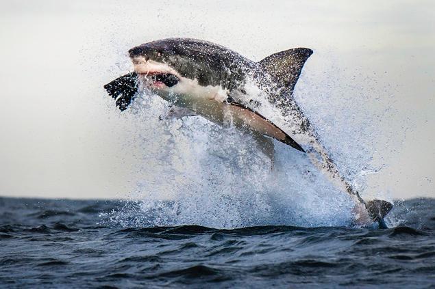 Shark Eating Seal Drawing The Shark Was Estimated at