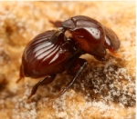 THIS, O Best Beloved, is a Tiny Picture of the Beetle rolling up and showing a Termite his Most Shiny golden handles, which he had squeezed out by holding his breath so hard he thought the would burst.