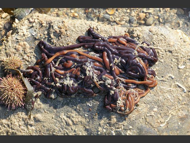 ribbon_worm_lineus_longissimus_bootlace_19-03-11_1
