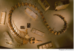 Basilosaurus entire