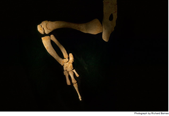 Basilosaurus,legs
