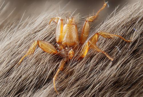 Nycteribiidae