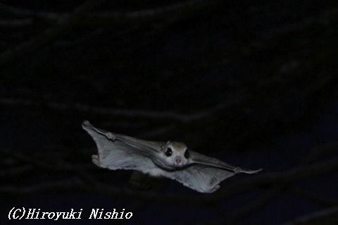From http://www.tougewo-koete.jp/animal/momonga/momonga02.html
