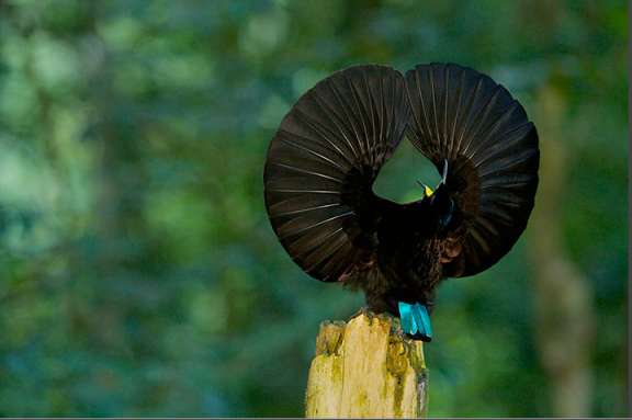 Victoria's Riflebird bird of paradise. Photograph: Tim Laman/National Geographic