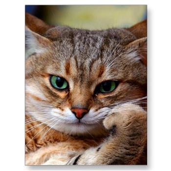 505425694_pensive_tiger_cat_postcard_p239937804276073461trdg_400_answer_3_xlarge