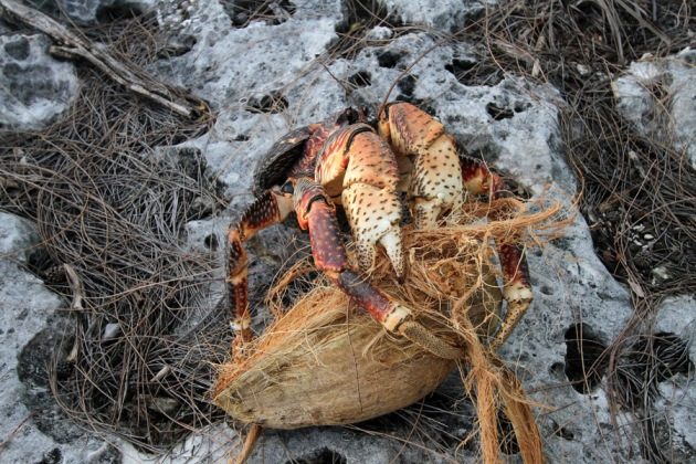 evolution of the coconut crab Meet the coconut crab, the largest terrestrial invertebrate on earth  crab, take a  moment to appreciate just what a marvel of evolution it is.