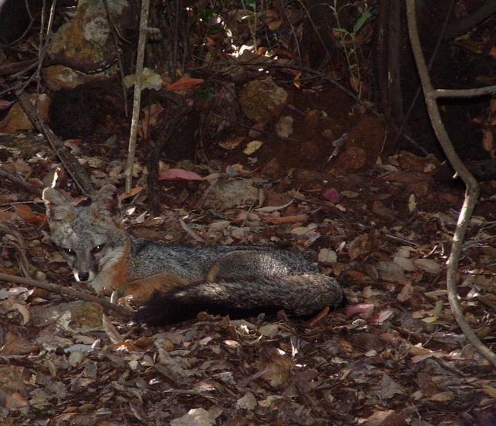 Gray Fox - Urocyon cinereoargenteus