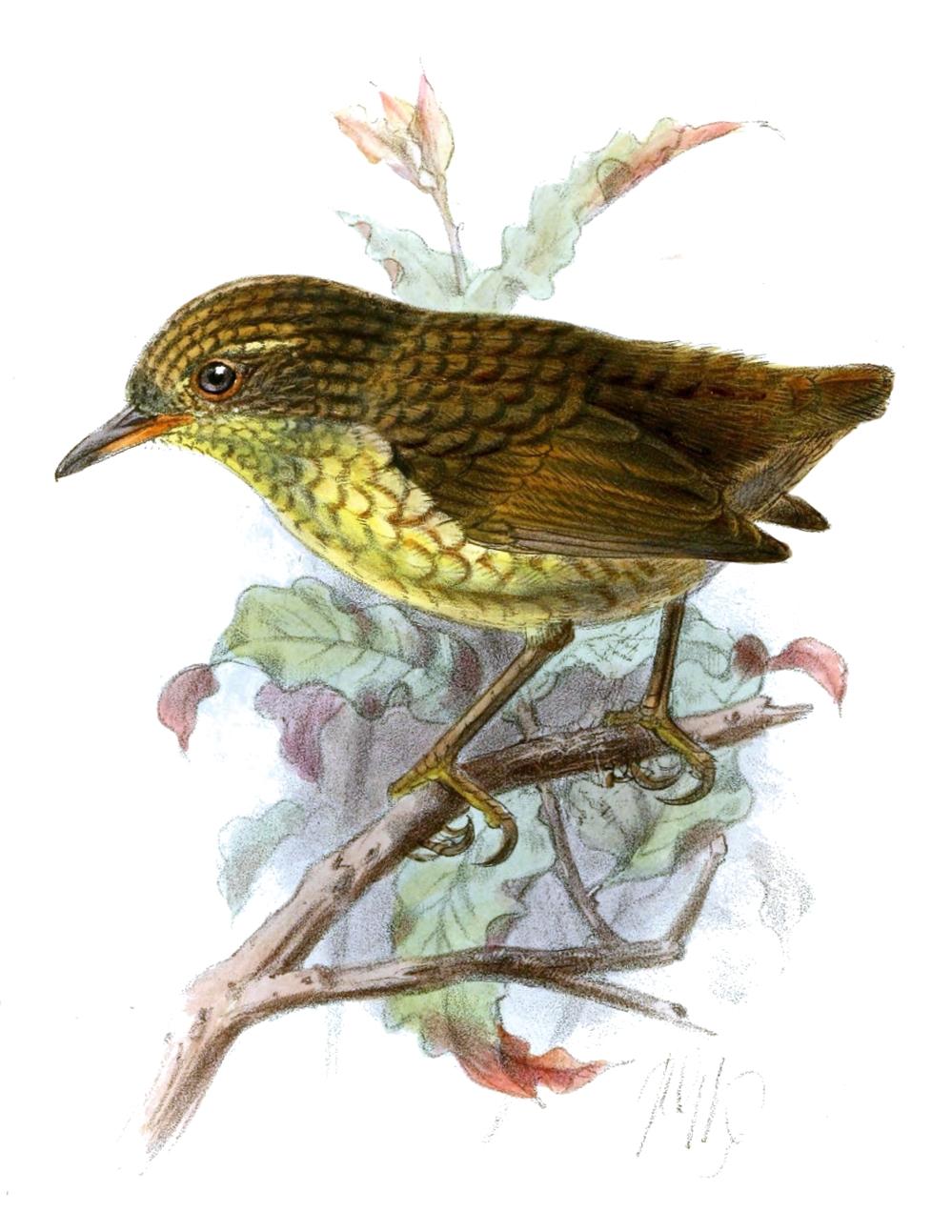 Stephens Island Wren (from Ibis, 1895).