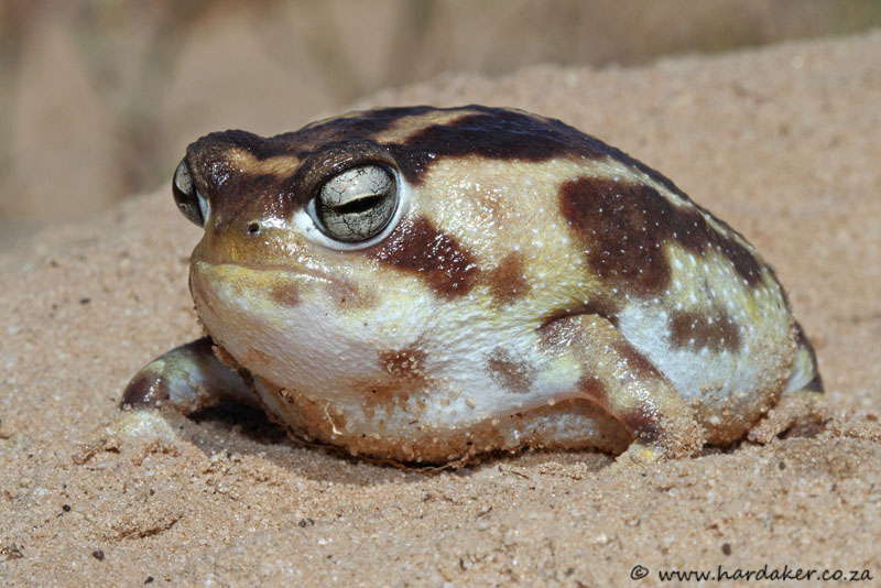 Image from SA Reptiles, http://www.sareptiles.co.za/forum/viewtopic.php?f=142&t=29576