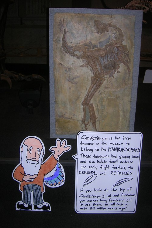 Charles Darwin explains feather evolution. The origin of birds is a theme of the Museum. Note CD's own incipient plumage.