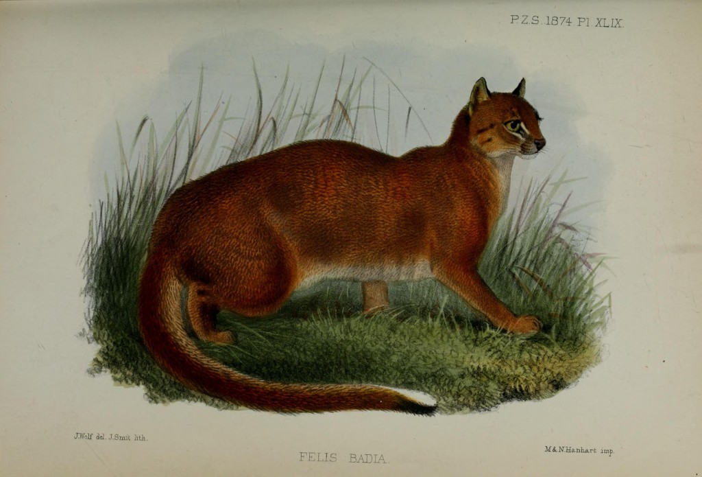 Illustration of Felis badia from Gray's original description (1874).