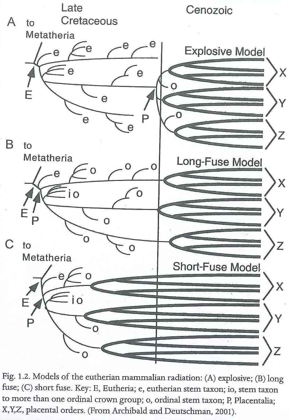 Models of placental mammal radiation (Rose, 2006).