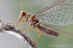 The head and mouthparts of spoon-winged lacewings is elongated and well-adapted for fitting into long corollas of flowers [Canon 1Ds MkII, Canon 100mm macro, 2 x Canon 580EX]; photo by Piotr Naskrecki