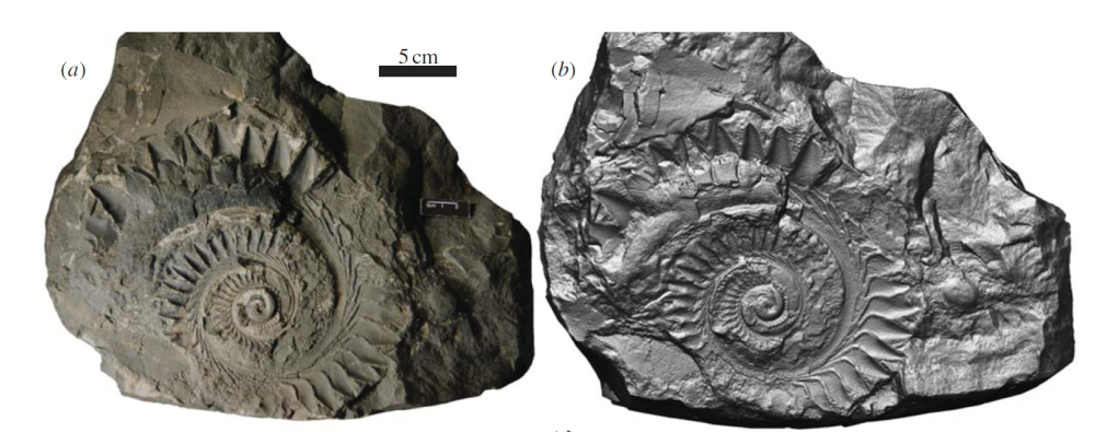 Helicoprion specimen IMNH 37899, preserving cartilages of the mandibular arch and tooth whorl. (a) Photograph and (b) surface scan of fossil, positionedanterior to the right, imbedded in limestone slab.