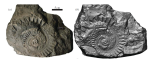 Helicoprion specimen IMNH 37899, preserving cartilages of the mandibular arch and tooth whorl. (a) Photograph and (b) surface scan of fossil, positioned anterior to the right, imbedded in limestone slab.