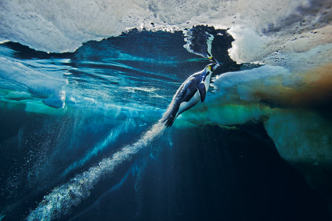 Preparing to launch from the sea to the sea ice, an emperor penguin reaches maximum speed.Photograph by Paul Nicklen (www.paulnicklen.com)