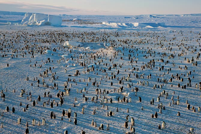 At a colony on the frozen Ross Sea, emperor parents and chicks bask in the brief summer sun. The distance to open water varies with the season; in midwinter birds may have to cross many miles of ice to feed.