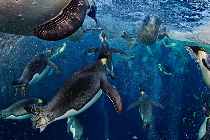 """These penguins have probably never seen a human in the water,"" says photographer Paul Nicklen, ""but it took them only seconds to realize that I posed no danger. They relaxed and allowed me to share their hole in the sea ice."""
