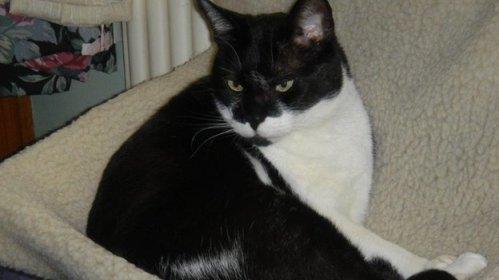 Senior cat Wadsworth, chillin'
