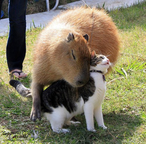 Capybara (Hydrochoerus hydrochairis) and cat.