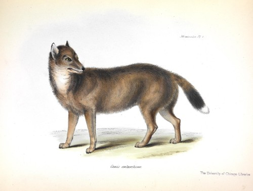 Canis antarcticus, by George Waterhouse, from the Zoology of the Beagle.
