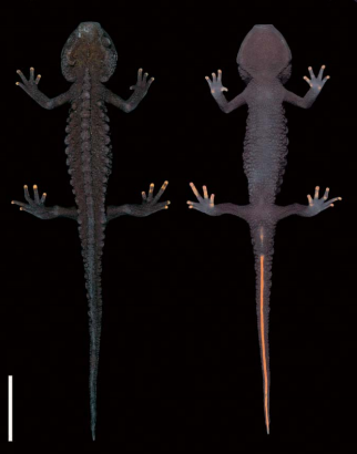 The male holotype (VNMN 3390) of Tylototriton ziegleri; dorsal (left) and ventral (right) views.Scale bar=20 mm.