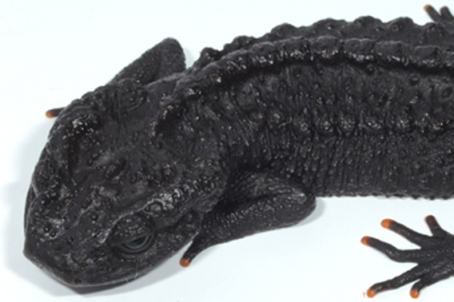Detail of adult Ziegler's crocodile newt. Photo courtesy of Tao Thien Nguyen.
