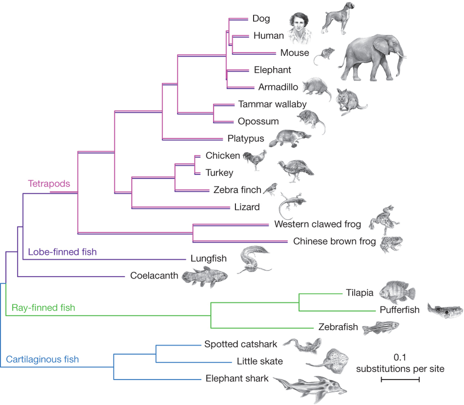 Coelacanth Genome Tree Why Evolution Is True