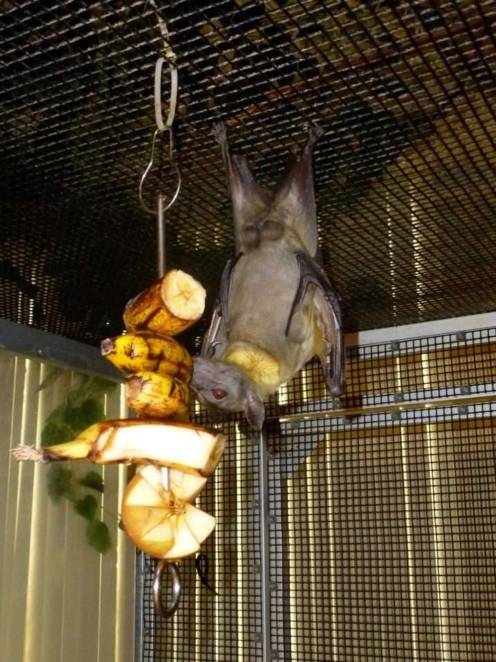 Fruit bat nomming