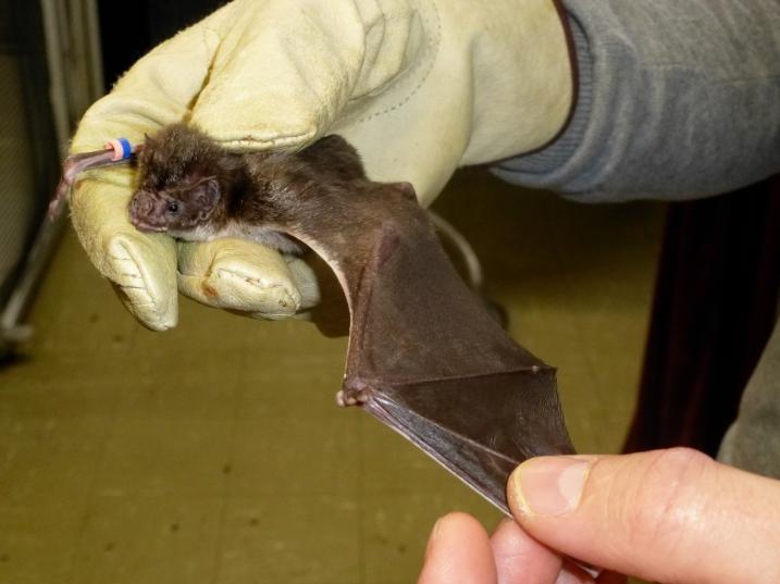 Vampire bat wing