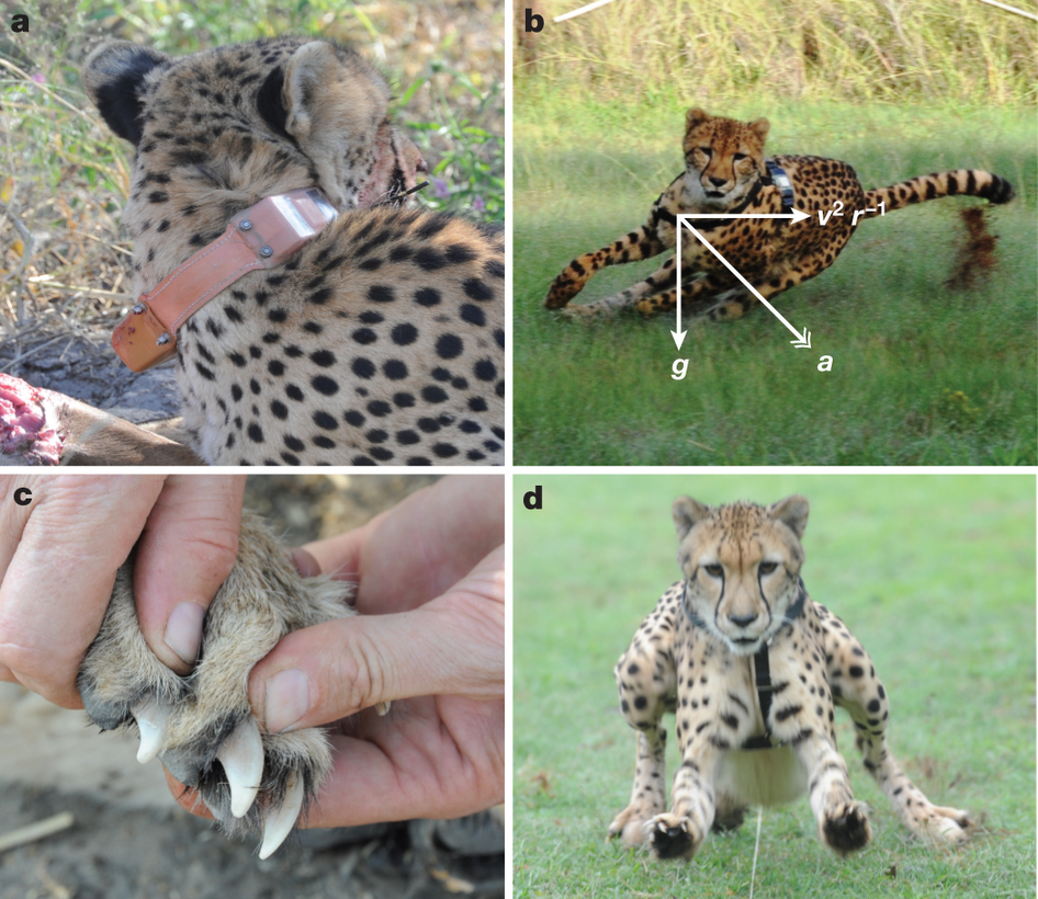 the evolution of cheetahs The cheetah is officially recognized by the united states as an endangered animal they are found mainly on the african grasslands and semideserts the cheetah is found mainly in the savannas.