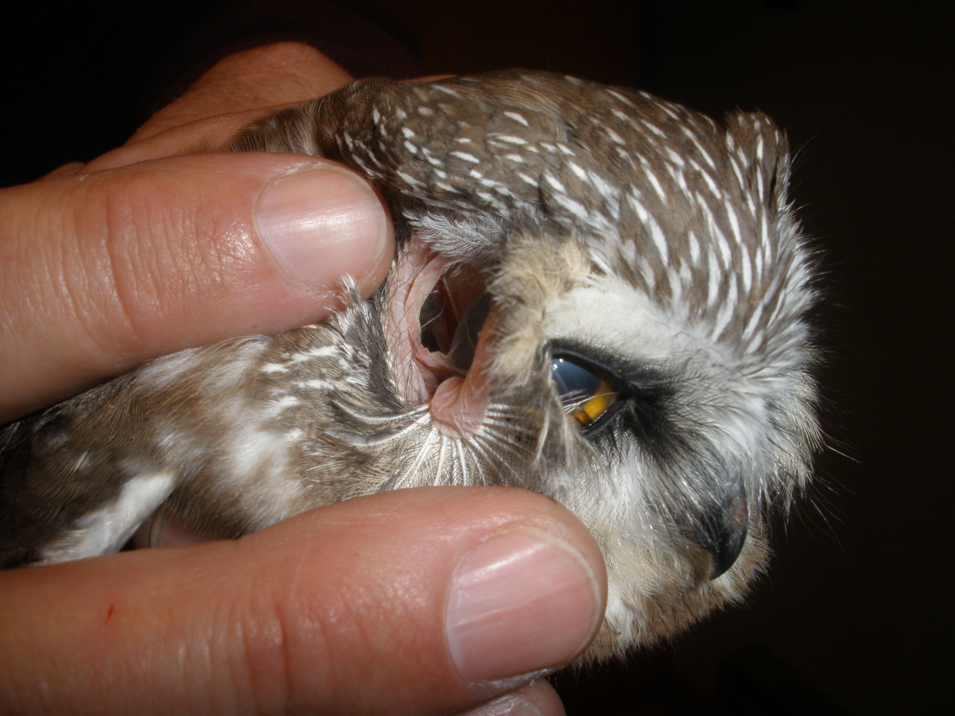 You really can see an owl\'s eyes through its ears « Why Evolution Is ...