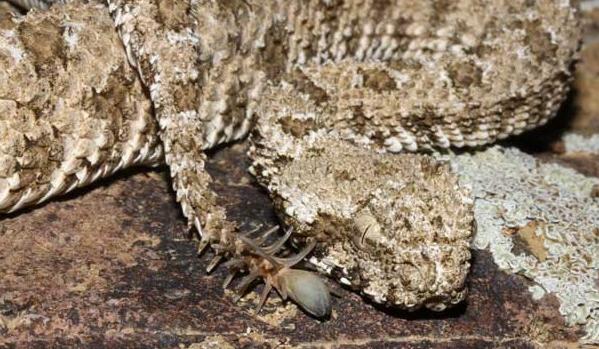 A snake mimics a spider why evolution is true - Piege a serpent ...