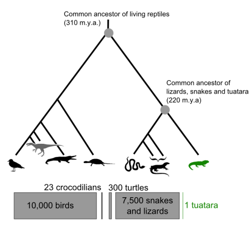 Phylogeny of relationships of the tuatara, from David Winter's Sequencing the Tuatara Genome Project.