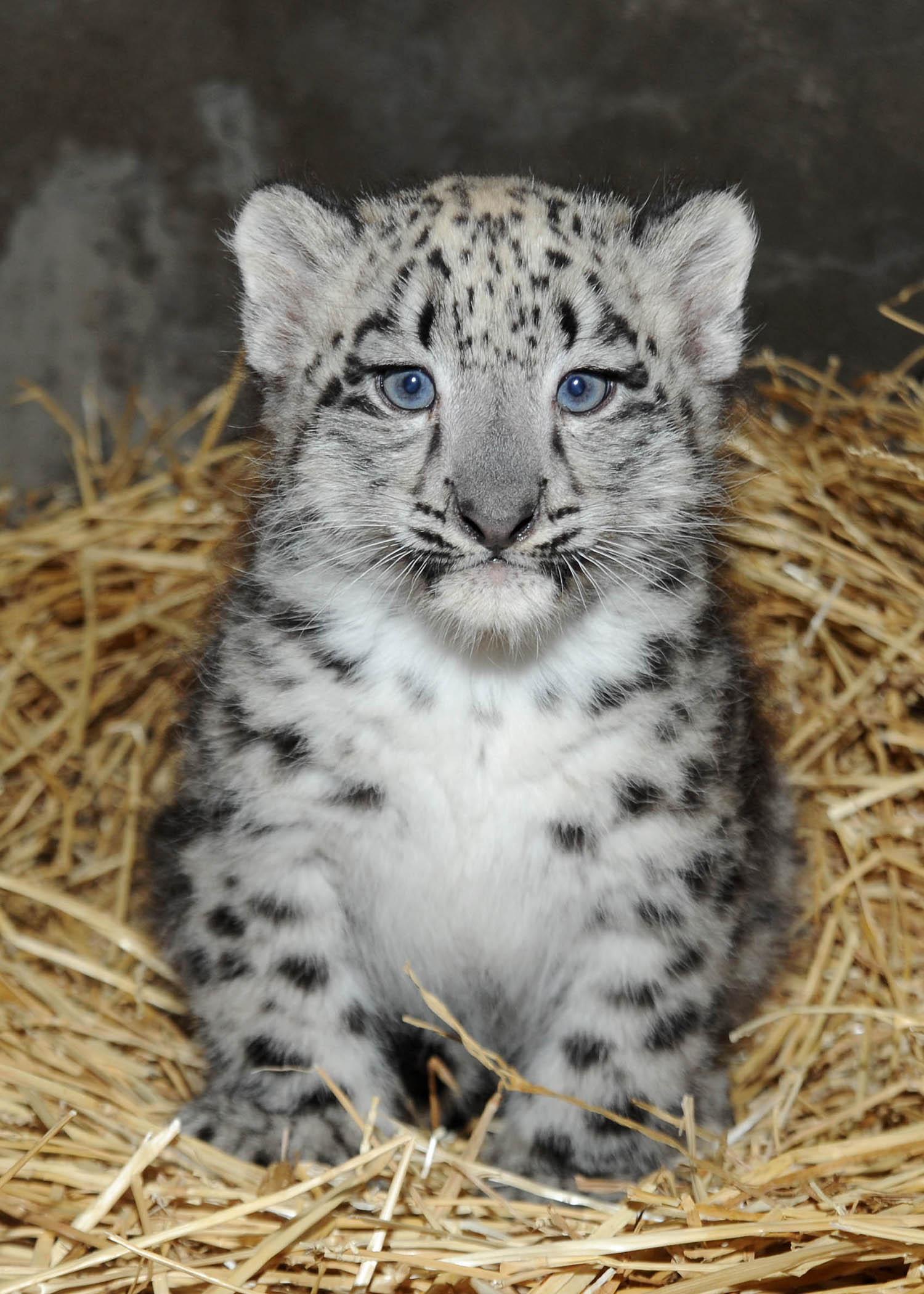 Brookfield Zoo Snow Leopard Cub 3 Why Evolution Is True