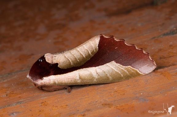 dead_leaf_moth