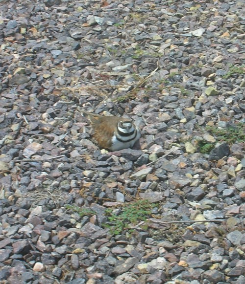 Killdeer on its nest.