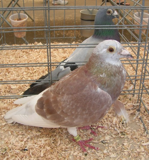 "Pink and white pigeon; notice the ""wild type"" bird behind it."