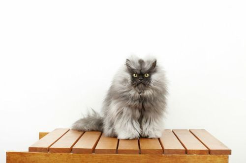 la-colonel-meow-world-record-holder-for-longes-005