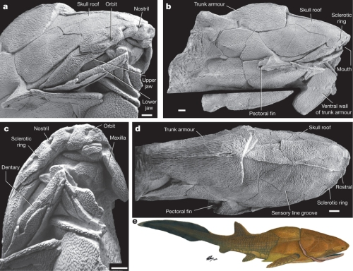 The  holotype of the new species, a three-dimensionally preserved specimen with head and trunk armour in anterolateral (a), lateral (b), anteroventral (c) and dorsal (d) views. A small part of the left trunk armour was accidentally sawed off as extraneous material and repositioned in b. Scale bars, 1cm. e, Life restoration.