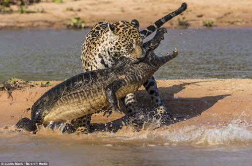 A jaguar, having seized an adult caiman by the neck, prepares to carry off the ill-fated reptile.