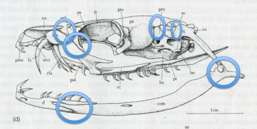 Snake jaw. The blue ellipses indicate regions of mobility (and note that the lower jaw connection to the other side is only ligamentous. (From http://borbl426-526.blogspot.com/2012/03/lab-6-serpentes-ophidia-dan-paluh-and.html)