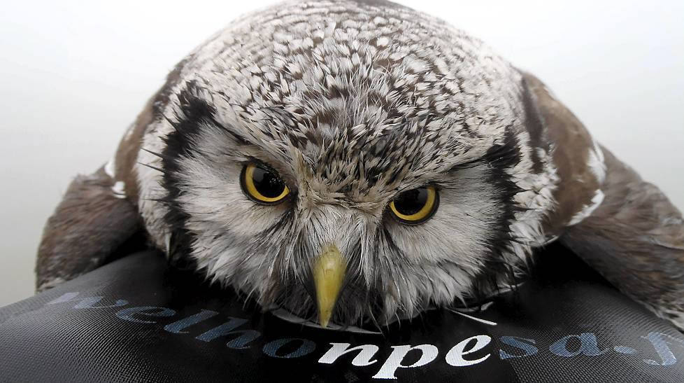 Finnish Kayaker Saves Drowning Owl 171 Why Evolution Is True